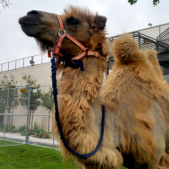 cassidy_bowman_camel_570
