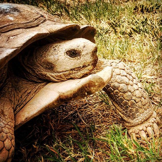 houdini_turtle_570