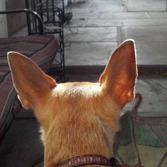 pstuckey_juno_ears_584