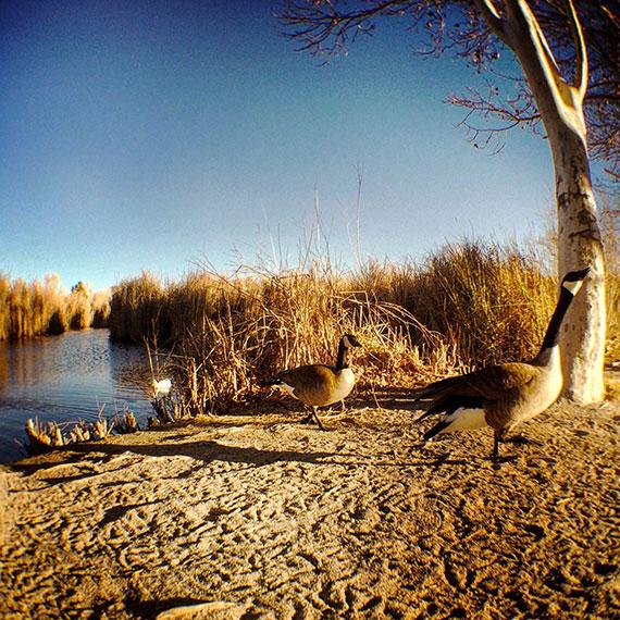 tule_springs_water_fowl_4391