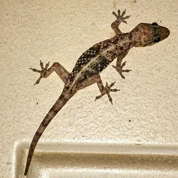 bruce_the_gecko_570