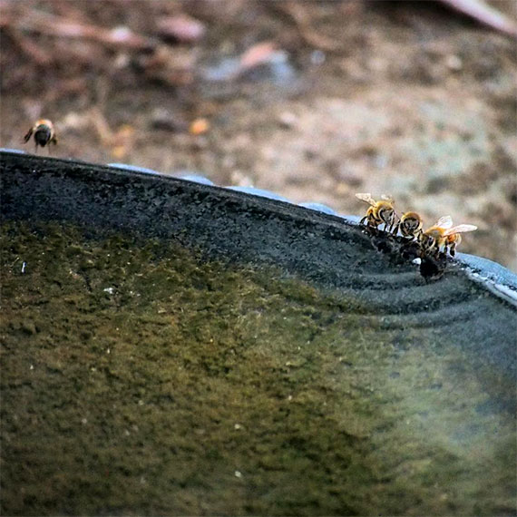 bees_watering_hole_570