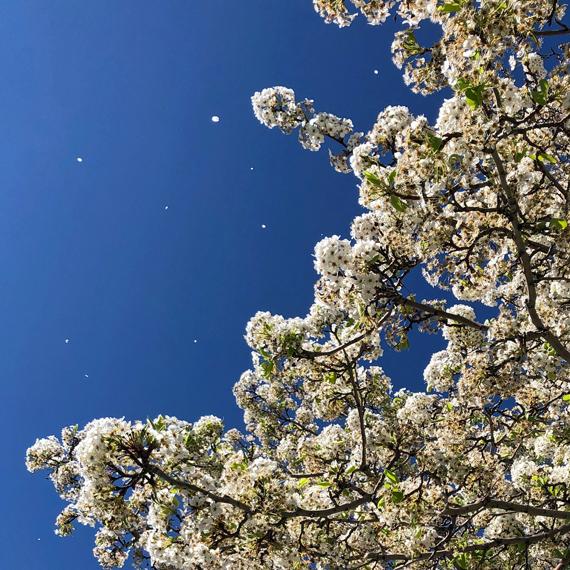 Gardens_Park_Blossoms_570