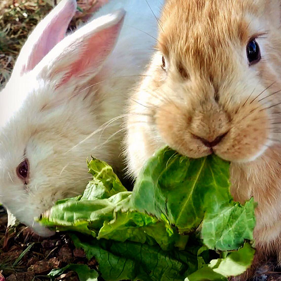 bunnies_two_570