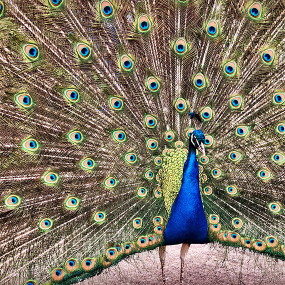 tule_springs_peacock_570