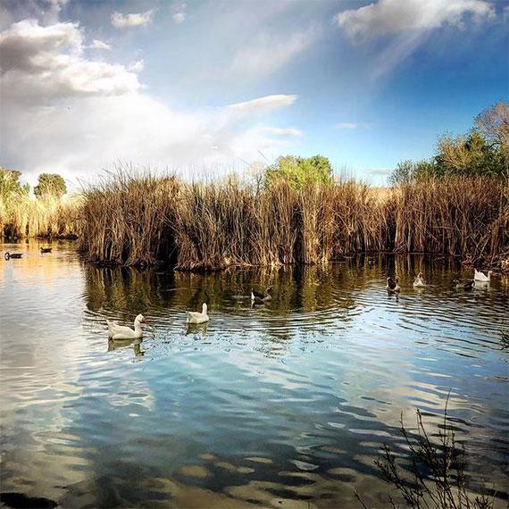 tule_springs_ducks