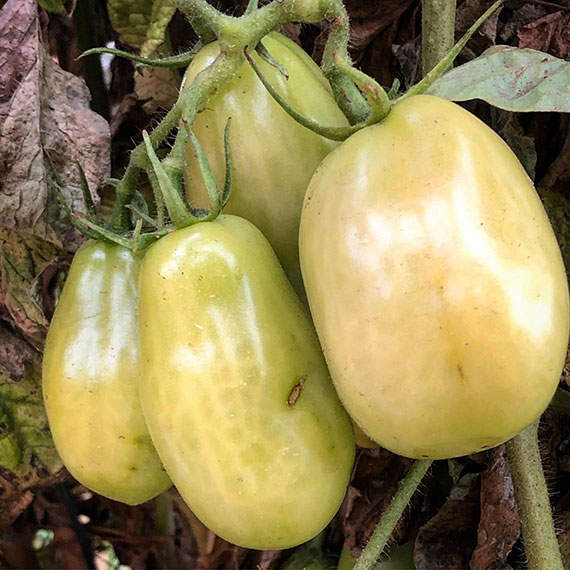 green_tomatoes_570