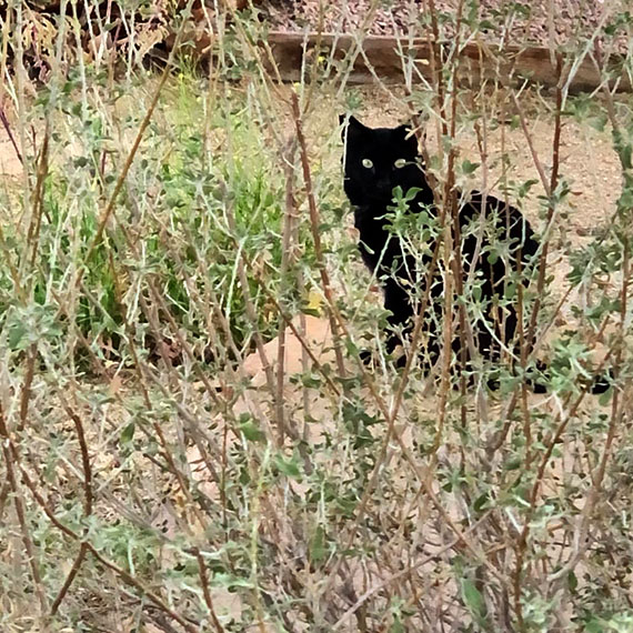 This image has an empty alt attribute; its file name is panther_kitty_570.jpg